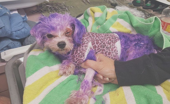 dog almost s allergic reaction after owners dye her fur purple