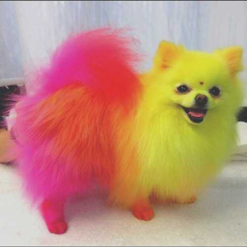 lets down to the bottom of this is it safe to color your pomeranians hair