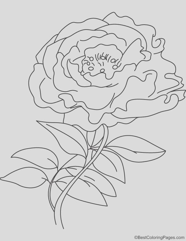 white peony coloring page 1d6152