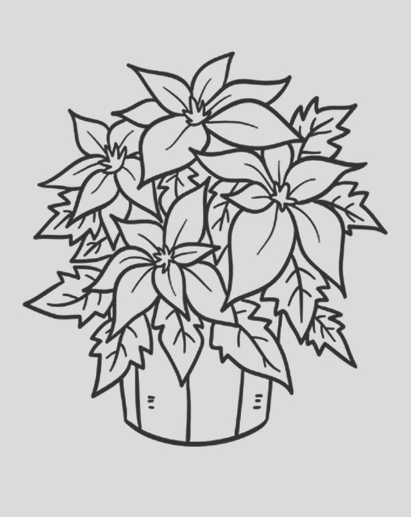 fresh poinsettia flower in a bucket coloring page