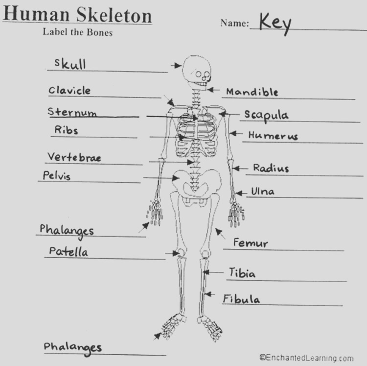 the skeletal system anatomy and physiology coloring workbook answers