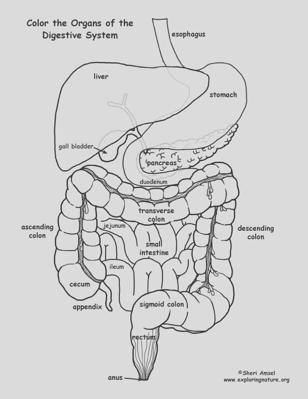 Digestive Tract Coloring Older